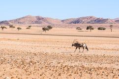 Eautiful Gemsbok, also called Oryx antelope, standing in the Namib Desert in Namibia. Beautiful Gemsbok, also called Oryx antelope, standing in the Namib Desert Royalty Free Stock Photo