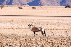 Eautiful Gemsbok, also called Oryx antelope, standing in the Namib Desert in Namibia. Beautiful Gemsbok, also called Oryx antelope, standing in the Namib Desert Stock Images