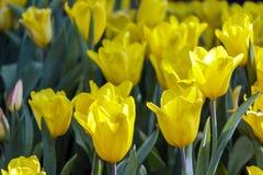 Eautiful kwiatu i zieleń liścia tulipanowy tło w ogródzie przy dniem Fotografia Stock