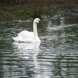 Eautiful portrait of Trumpeter Swan Cygnus Buccinator on water i Stock Image