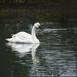 Eautiful portrait of Trumpeter Swan Cygnus Buccinator on water i Royalty Free Stock Photo