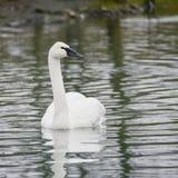 Eautiful portrait of Trumpeter Swan Cygnus Buccinator on water i Stock Photography