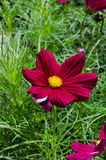 Eautiful red daisy flower. In park royalty free stock images