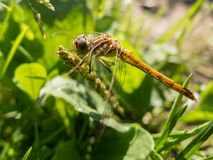 Dragonfly on the stem. Royalty Free Stock Photography