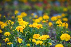 Eautiful yellow flowers Royalty Free Stock Images
