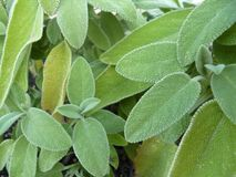 Leaves of salvia in soft sunlight. background. Eaves of salvia in soft sunlight. close-up.background royalty free stock image