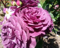 Ebb Tide Roses. Dark Purple Ebb Tide Rose Royalty Free Stock Images