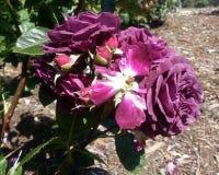 Ebb Tide Roses. Sophisticated Violet Ebb Tide Rose Stock Photography