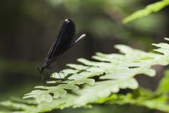 Ebbehouten het jewelwing damselfly - Calopteryx-maculata Royalty-vrije Stock Afbeelding