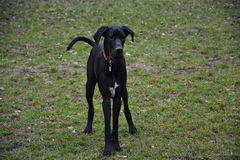 Ebbie the black dog Royalty Free Stock Images