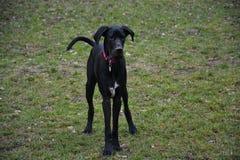 Ebbie il cane nero immagini stock libere da diritti