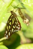 Eben aufgetauchter frittilary Schmetterling des Golfs Lizenzfreie Stockbilder
