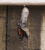 Eben aufgetauchter Monarchfalter auf klarer Puppe Stockfotos