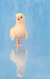 Eben ausgebrütetes Ostern-Küken mit Reflexion Stockfotos