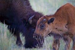 Eben geborener Bison Calf mit Mutter stockfotos