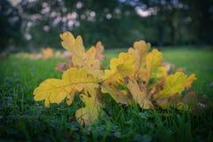 Eben gefallenes Gelb lässt das Legen auf das Gras während des Herbstes Stockfoto