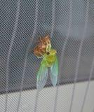 Eben gemauserte Zikade auf Schirm lizenzfreie stockfotos