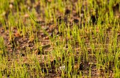 Eben gepflanzter Grasstartwert für zufallsgeneratoranfang zum zu wachsen stockfotografie