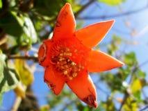 Eben getragene Granatapfelblume wird durch Insekten von einer Seite gegessen stockfotos