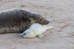 Eben getragener Grey Seal-Welpe mit seiner Mama Lizenzfreies Stockfoto