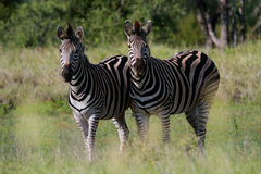 Ebenen-Zebra Lizenzfreie Stockbilder