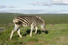 Ebenen-Zebra in Addo Elephant National Park Stockbild