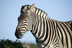 Ebenen-Zebra in Addo Elephant National Park Lizenzfreie Stockbilder