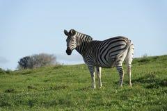 Ebenen-Zebra in Addo Elephant National Park Stockbilder