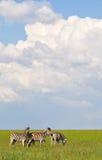Ebenen-Zebra auf grünem Gras Stockfotos