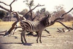 Ebenen-Zebra, Botswana, Afrika Lizenzfreie Stockbilder