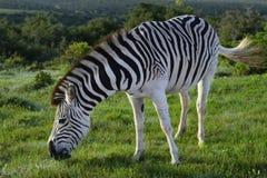Ebenen-Zebra, das in Addo Elephant National Park herumsucht Lizenzfreie Stockfotografie