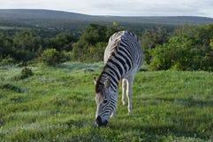 Ebenen-Zebra, das in Addo Elephant National Park herumsucht Stockbilder