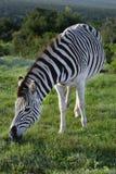 Ebenen-Zebra, das in Addo Elephant National Park herumsucht Lizenzfreie Stockbilder