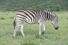 Ebenen-Zebra, das in Addo Elephant National Park herumsucht Lizenzfreies Stockbild