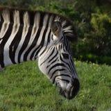 Ebenen-Zebra, das in Addo Elephant National Park isst Stockbilder