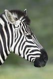Ebenen-Zebra portret in Addo Elephant National Park Lizenzfreie Stockbilder