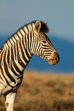 Ebenen-Zebraporträt Stockfotos