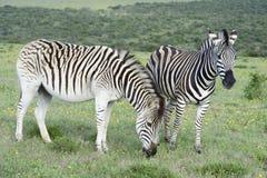 Ebenen-Zebras, die in Addo Elephant National Park herumsuchen Stockfotografie