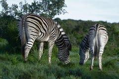 Ebenen-Zebras, die in Addo Elephant National Park herumsuchen Stockbilder