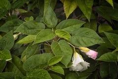 Ebenus do St Helena Ebony Trochetiopsis imagens de stock royalty free