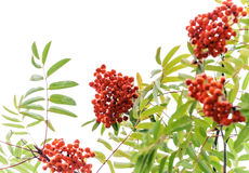 Eberesche-Baum mit den hellen Beeren getrennt auf Weiß Lizenzfreie Stockfotografie