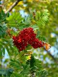 Eberesche. Beeren. Herbst. Stockbilder