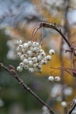 Eberesche im Herbst Stockbild