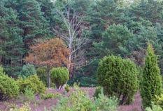 Eberesche im Lueneburg-Heide Stockbilder
