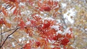 Eberesche im Schnee stock video footage