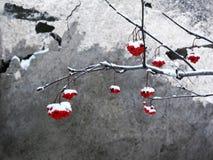Eberesche im Schnee. Stockbilder