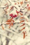 Eberesche im Schnee Lizenzfreie Stockbilder