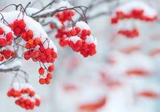Eberesche im Schnee Lizenzfreies Stockbild