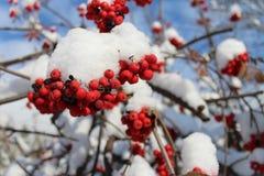 Eberesche im Schnee stockbilder