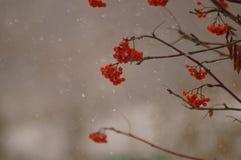 Eberesche im Schnee Stockfotos